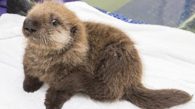 angelcraft-crown-conservation-meet-luna-the-shedd-aquariums-newest-little-baby-sea-otter